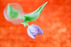 Tulipanowy wiosna kwiat na czerwieni i błyskotliwości Zdjęcie Royalty Free