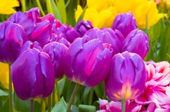Tulipanowy Zizanie Fotografia Royalty Free