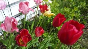 Tulipans Foto de archivo libre de regalías