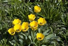 Tulipans amarelos imagens de stock
