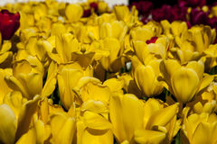 tulipanu śródpolny kolor żółty Obrazy Stock
