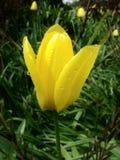 01 tulipanu żółty Zdjęcie Stock