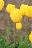 01 tulipanu żółty Zdjęcia Stock