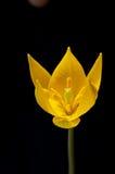 01 tulipanu żółty Obraz Stock