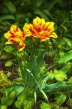 01 tulipanu żółty Obraz Royalty Free