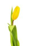 01 tulipanu żółty Zdjęcia Royalty Free