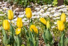 01 tulipanu żółty Fotografia Royalty Free