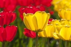 tulipanu czerwony kolor żółty Zdjęcie Stock