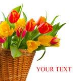 tulipanu czerwony kolor żółty Obraz Stock