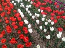 Tulipanu festiwal Zdjęcia Royalty Free