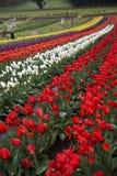 Tulipanu gospodarstwo rolne Fotografia Royalty Free