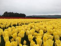 Tulipanu gospodarstwo rolne Zdjęcie Royalty Free