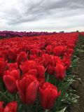 Tulipanu gospodarstwo rolne Obrazy Stock