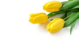 tulipanu kolor żółty zdjęcia stock