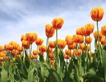 tulipanu kolor żółty Obraz Stock