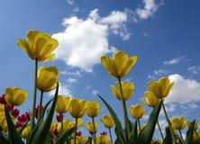 tulipanu kolor żółty Zdjęcie Royalty Free