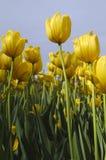 tulipanu kolor żółty obrazy stock