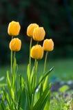 tulipanu kolor żółty Fotografia Stock
