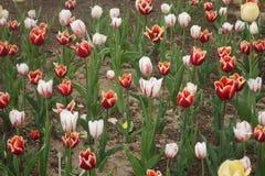 Tulipanu kolorowy pole Zdjęcie Royalty Free
