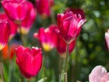 Tulipanu kwiat Obraz Stock