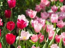 Tulipanu kwiat obrazy stock