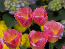 Tulipanu kwiat w zakończeniu up obrazy stock