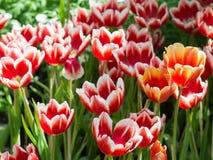 Tulipanu kwiat w zakończeniu up obraz royalty free
