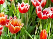 Tulipanu kwiat w zakończeniu up fotografia royalty free