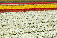 Tulipanu kwiatu pole Fotografia Royalty Free