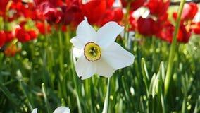 Tulipanu narcyza zwolnionego tempa parka pięknej wiosny sezonowy plenerowy ogrodowy okwitnięcie zbiory wideo