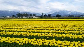 Tulipanu ogród w Japan przy nyuzen obrazy stock