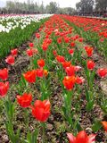 Tulipanu ogród w Srinagar fotografia royalty free