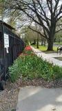Tulipanu ogrodzenie obraz stock