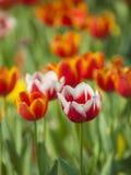 Tulipanu okwitnięcie zdjęcia stock