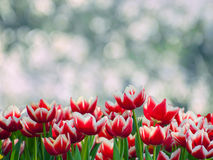 Tulipanu okwitnięcie Zdjęcia Royalty Free
