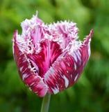 Tulipanu pączek z menchii drobinami Zdjęcie Royalty Free