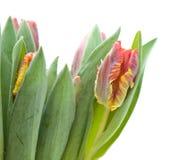 tulipanu papuzi czerwony kolor żółty zdjęcia stock