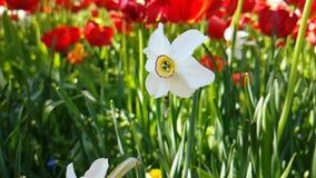 Tulipanu pięknego zwolnionego tempa sezonowy ogród zbiory wideo