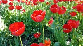 Tulipanu piękny zwolnione tempo może natura parka wiosny sezonowy plenerowy ogrodowy okwitnięcie zbiory wideo