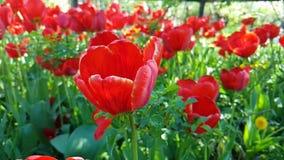 Tulipanu piękny zwolnione tempo może natury sezonowy plenerowy ogrodowy okwitnięcie zbiory wideo