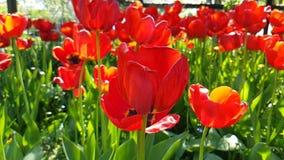 Tulipanu piękny zwolnione tempo może natury wiosny sezonowy plenerowy ogrodowy okwitnięcie zbiory wideo