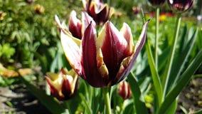 Tulipanu piękny zwolnione tempo może sezonowy plenerowy ogrodowy okwitnięcie zbiory