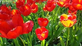 Tulipanu piękny zwolnione tempo może tło parkowej wiosny sezonowy plenerowy ogrodowy okwitnięcie zdjęcie wideo