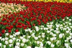 Tulipanu pole Fotografia Stock