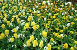 Tulipanu pole Obraz Royalty Free