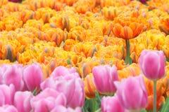 Tulipanu pole Zdjęcie Stock