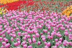 Tulipanu pole Zdjęcie Royalty Free