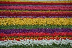 Tulipanu pole zdjęcia stock