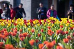 Tulipanu pole Fotografia Royalty Free