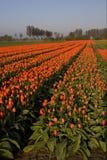 Tulipanu pole w holandiach zdjęcie royalty free